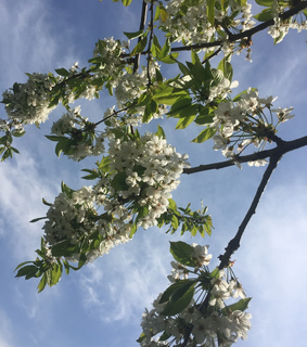 blossom, sky and backround