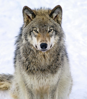 wildlife, wolves and animal