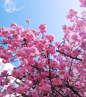 blue sky, blossom and pink