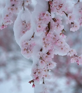 ice, pink and cherry blossom