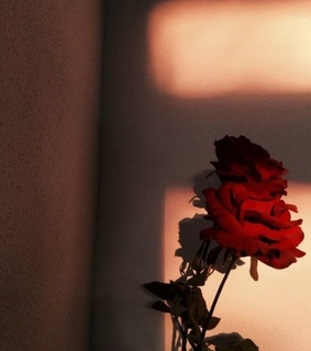 photography, roses and aesthetic