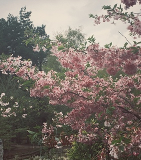 pink, photography and cherry blossom