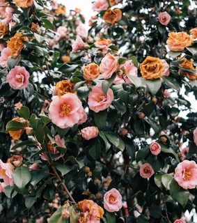 wallpaper, nature and roses