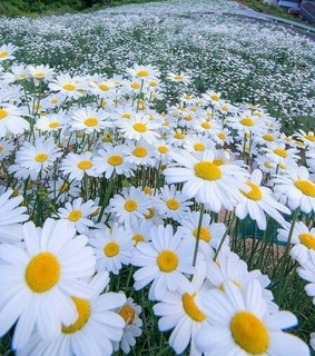 flowers, spring and daisies