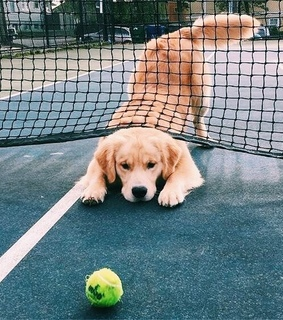 tennis, dog and ball
