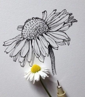drawing, daisy and flower