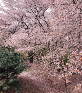 cherry blossom, spring and tree