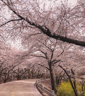 cherry blossom, pink and spring