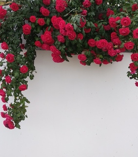 nature, roses and wall