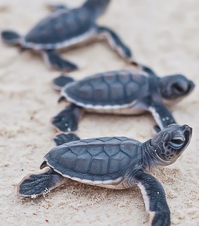 turtles, blue and animal