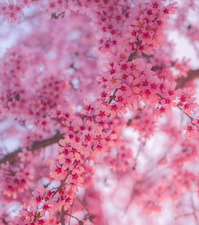 cherry blossom, nature and spring