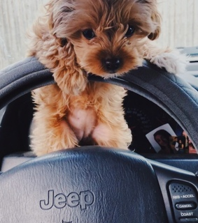 puppy, jeep and dog