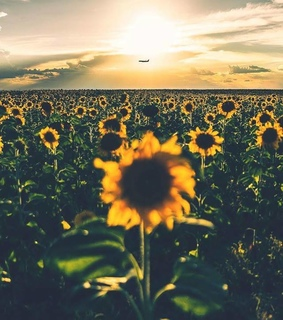 photography, escape and sunflowers