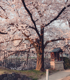sunset, park and cherry blossoms