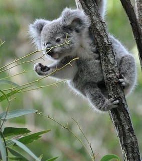 naturaleza, Animales and Koala