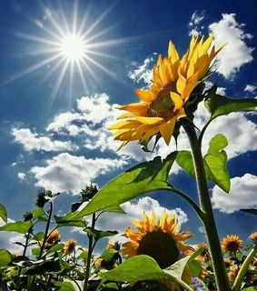 hd, yellow and sunflower