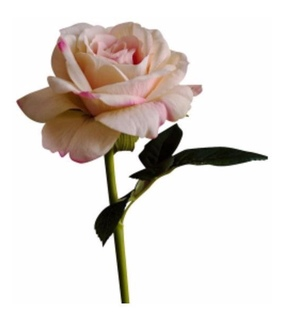 png, Polyvore and rose