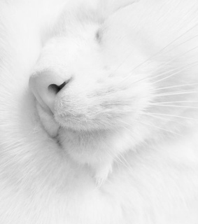cat, adorable and white