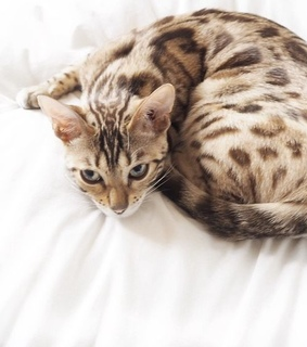 leopard, beautiful. adorable and cat