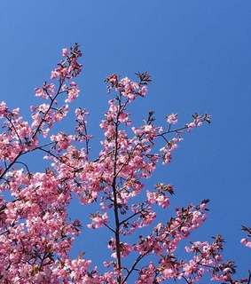 cherry blossom, pink and aesthetic