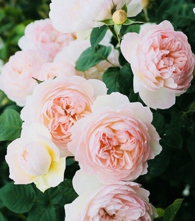 flowers, pure and rose