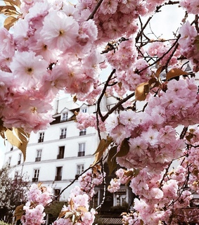 outdoors, cherry blossom and photo