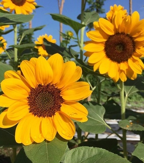 sunflower aesthetic, artsy and yellow