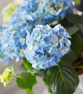 blue, hortensia and like it