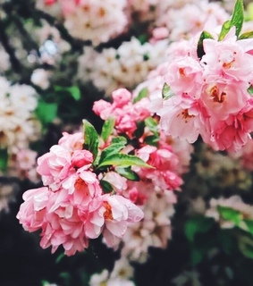 bloom, blossom and cherry