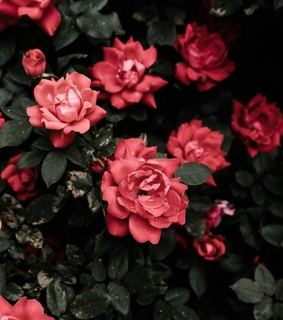 flora, enchanted and red flowers