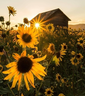nature, sunflower and spring