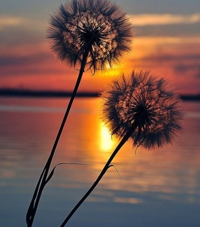 sunsets, beach and dandelion