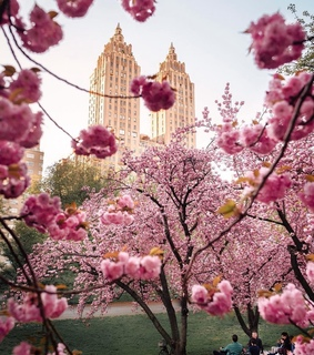 cherry blossoms, flowers and happiness