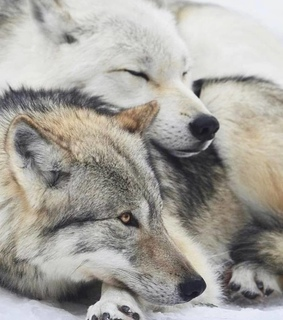 animals, wolf and wolves
