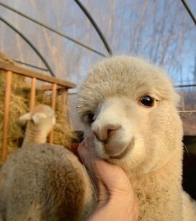 sheep, lovely and animals