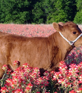 animals, cute animals and cute cow