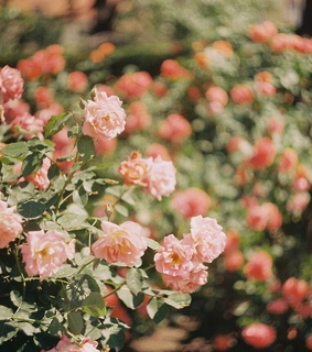 garden, love and pink rose