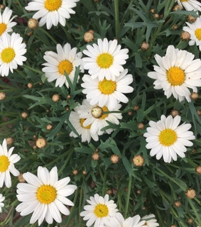marguerites, aesthetic and Blanc