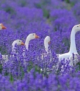 lavender, love and lilac