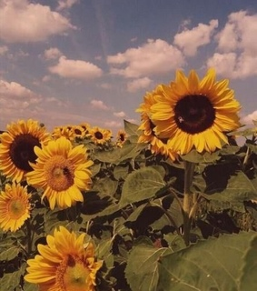 cute wallpaper and sunflowers