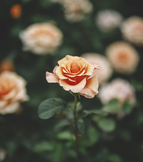 pretty, gardening and roses