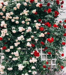 white roses, rose garden and garden