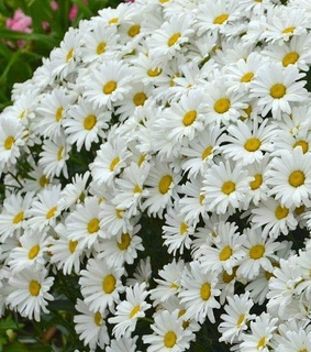 aesthetic, pretty and daisies