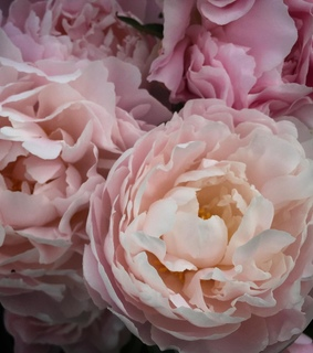 bouquet, peonies and lifestyle