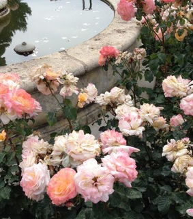 pink, flores and pink roses