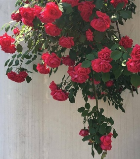 roses, vintage and style