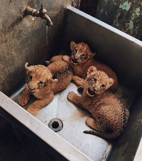 lion, animal and cute