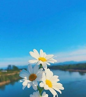 daisies, daisy and flower