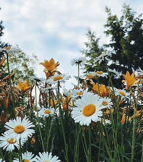 daisy, finland and flowers