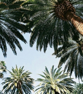 california, palm and palms